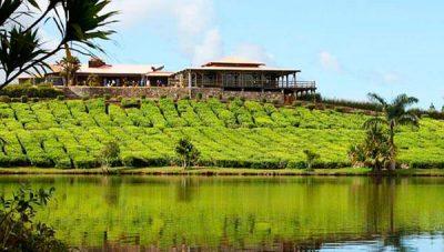 bois-cheri tea plantation